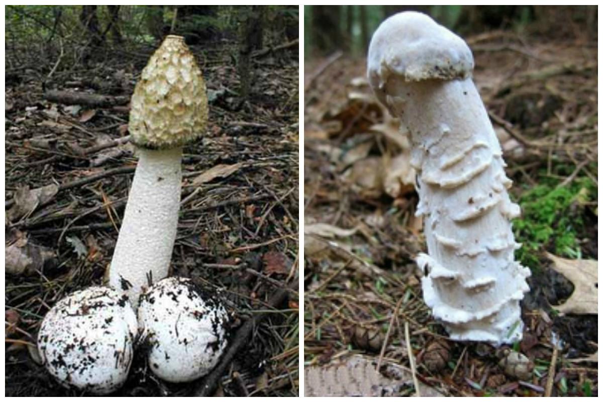 Pilzsammler aufgepasst ! - Seite 2 Pilz%20welche%20sind%20das